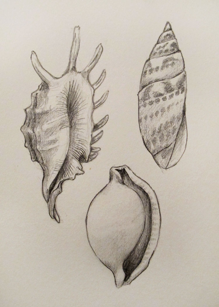 My sketch of various shells.