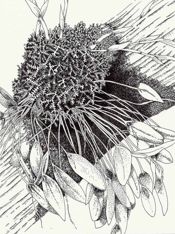 (Small) BotanicalDrawing(1)