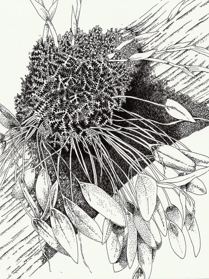 (Small) BotanicalDrawing(1)