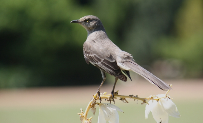 Levacy-Mockingbird-(sm web)