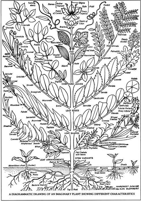Linnaeus-MargaretSenior